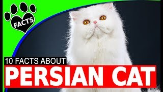 Persian Cats 101 - 10 Fun Interesting Facts