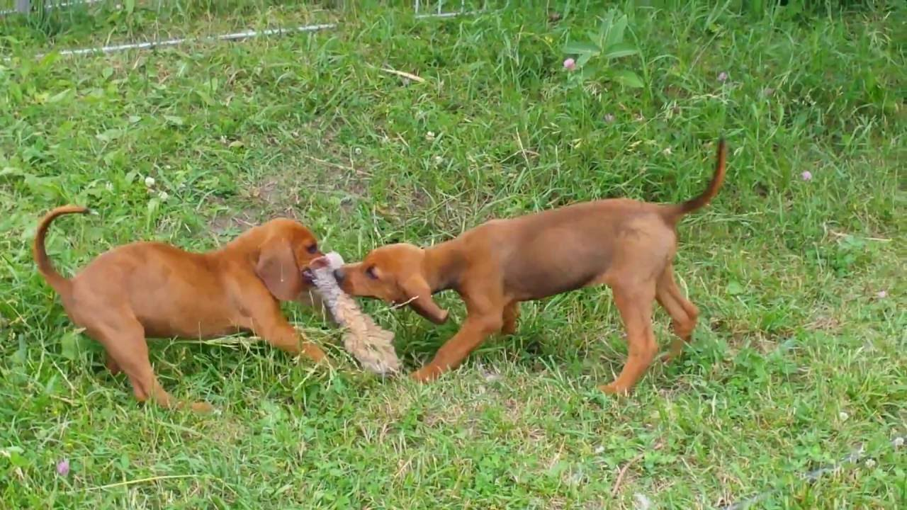 8 Week Redbone Coonhound Puppies Wrestling With A Stuffed Fox Toy