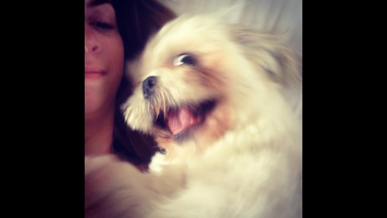 Funny Dogs Shih Tzu Puppy Belly Slide Dogs Funny Pets