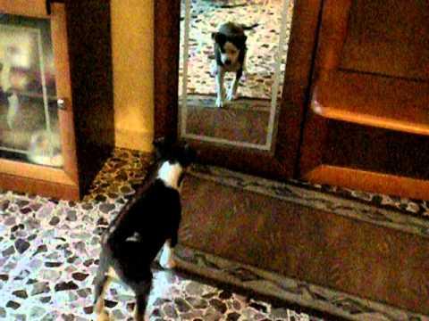 Un cane confuso allo specchio youtube - Cane allo specchio ...