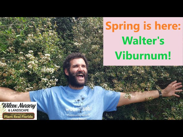 Florida Native Plants: Walter's Viburnum