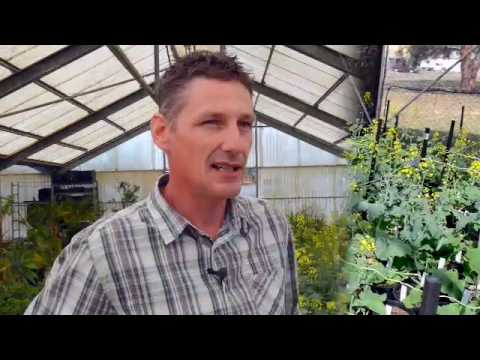 Pioneer® brand canola breeding process - corn silage harvest
