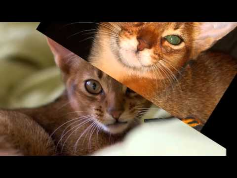 cool photo Abyssinian cat breed