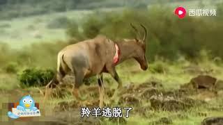 鬣狗被稱為非洲二哥,演戲也是一流,羚羊還沒反應過來就被咬住瞭 thumbnail