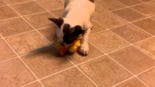 Greyson The French Bulldog Does Zoomies - 9 Weeks Old