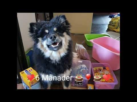 Finsk Lapphund Zelda 6 Månader