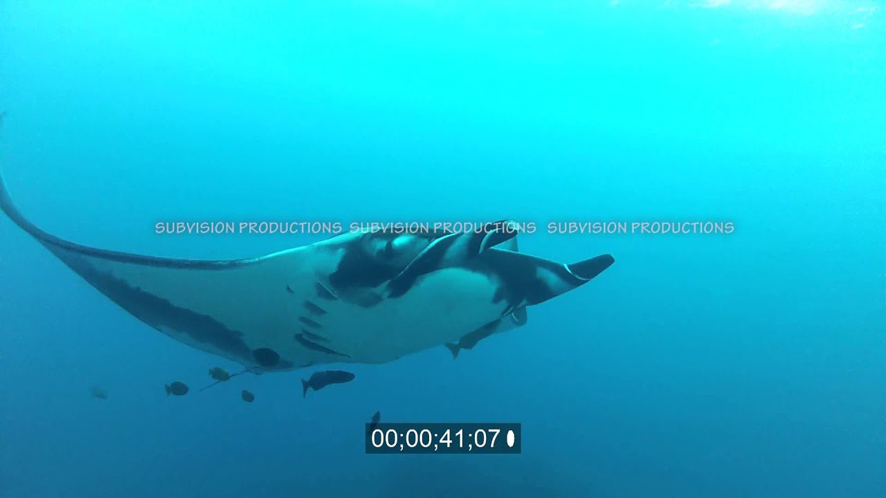 stock footage of manta ray with cleaner fish flying by and over
