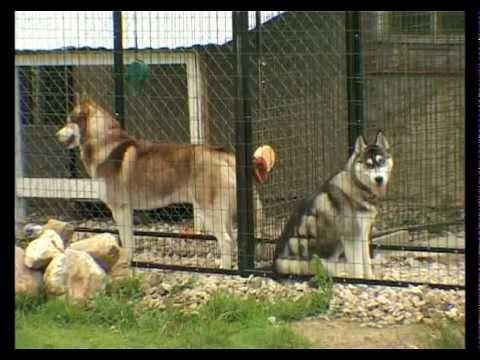 Порода собак Сибирский Хаски. Программа 'Живой дом'
