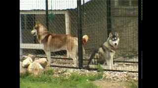 "Порода собак Сибирский Хаски. Программа ""Живой дом"""