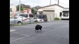 テニスボールを羊に見立てた牧羊犬のデモンストレーション☆ 犬笛の指示...