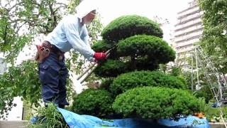 庭木の手入れ:160621刈り込みのコツ