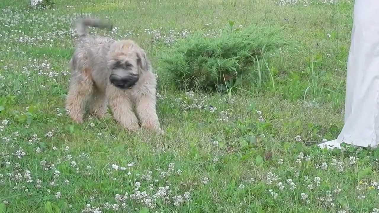 Irish Soft Coated Wheaten Terrier Puppies A Litter Kennel Draugas