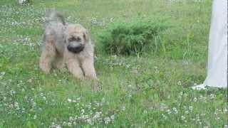 Irish Soft Coated Wheaten Terrier Puppies - A Litter - Kennel Draugas