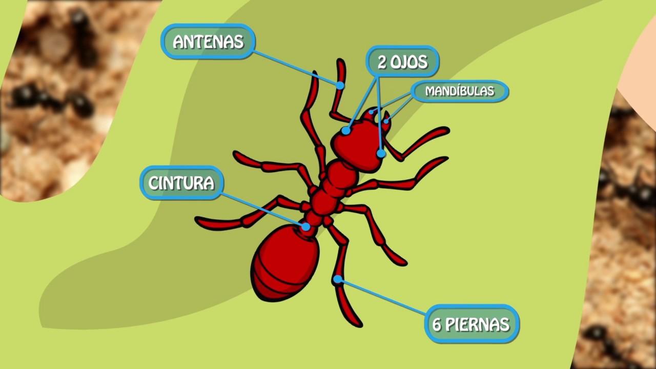 Las Hormigas - Anatomía - YouTube