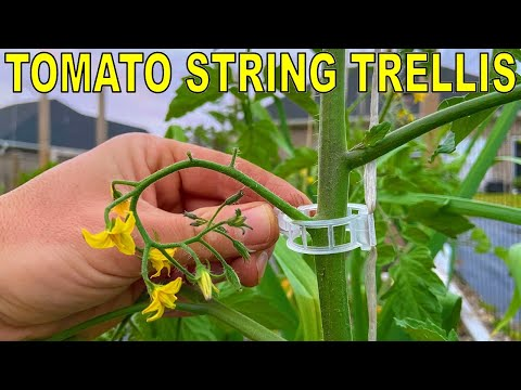 Tying Up Tomatoes Like This Changed My Life: STRING TOMATO TRELLIS!