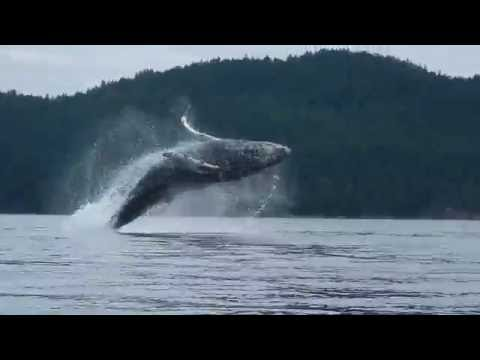 Humpback Whales Breach Near BC Kayakers YouTube - Rare moment 40 ton whale jumps completely out of the water