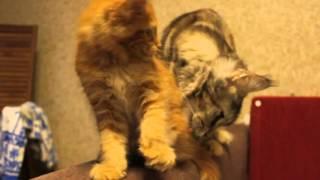 мейн кун котёнок ALLIANCE MEGAPOLIS