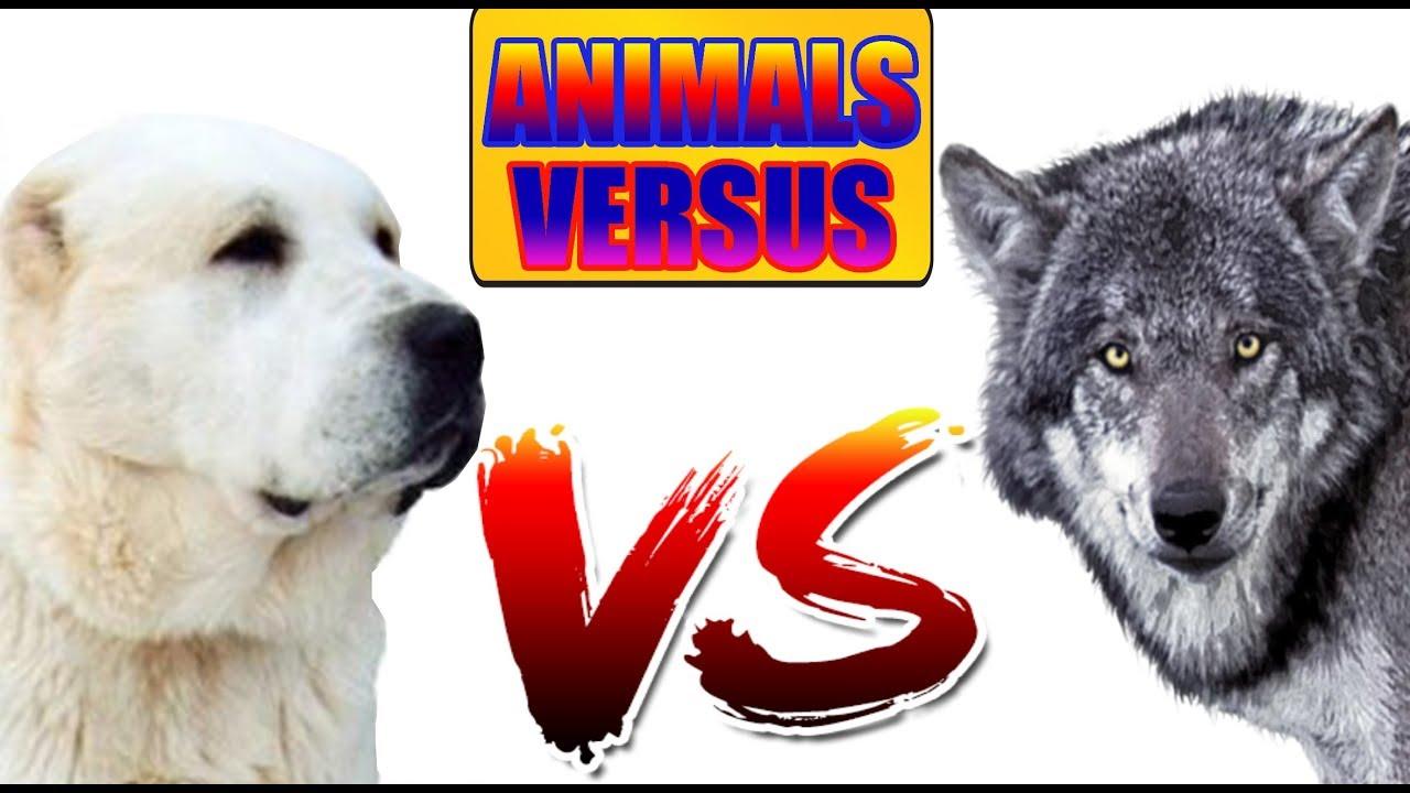 Алабай  ПРОТИВ Волка   ANIMALS VERSUS   САМАЯ ЖЁСТКАЯ БИТВА!!!