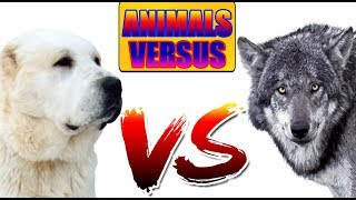 Алабай  ПРОТИВ Волка | ANIMALS VERSUS | САМАЯ ЖЁСТКАЯ БИТВА!!!