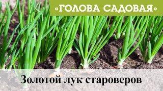 Голова садовая - Золотой лук староверов