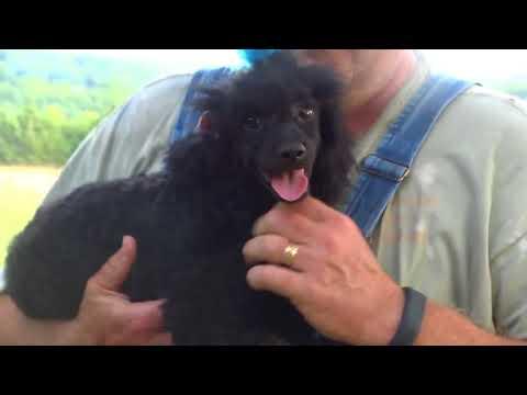 Bradford - poodle