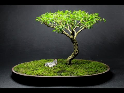 African Style Serissa Foetida Bonsai April 2015 Youtube