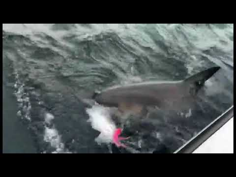 Great White Shark Snatches Catch From Fishermen On Cape Cod