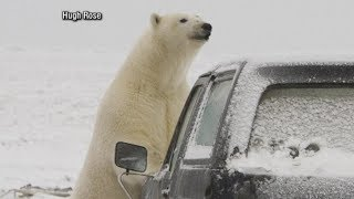 Polar bears descend on Alaskan village, causing tourist boom: Part 1