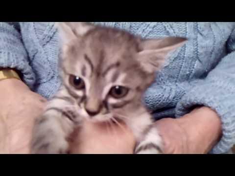 Silver Tabby Japanese Bobtail Female Kitten born 12/27/18 - Akira