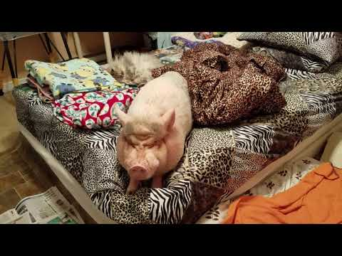 Rise and shine on this Monday morning with Sammy The Hammy The Smiling Pig💖🐽💖