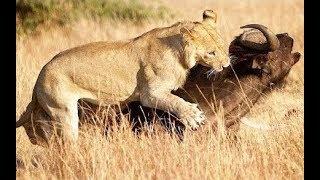 Lions attack buffalo - Animal attacks