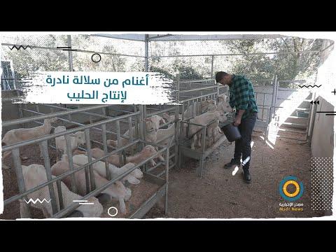 شاب من غزة يقود مشروع ريادي لتربية سلالة خاصة بإنتاج الحليب