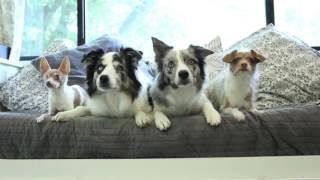 4匹の犬が素晴らしいトリックを実行します。すべてのトレーニングはポジ...
