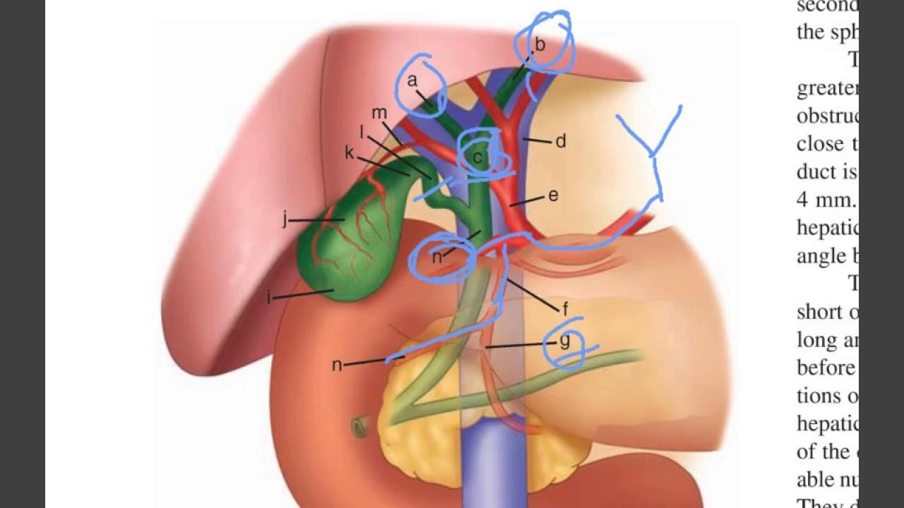 gallblader (surface anatomy) -1- - YouTube
