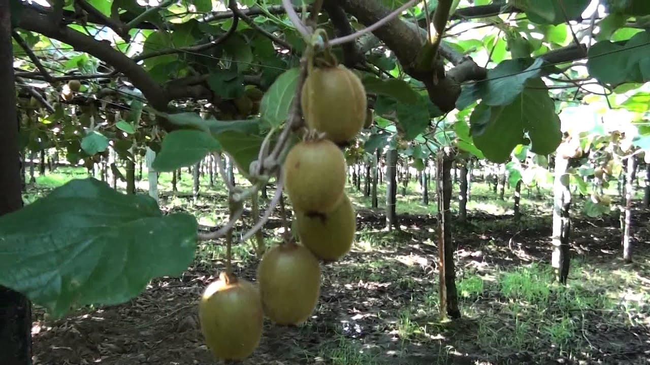 How to grow kiwi fruits in kenya - Oxfarm Organic Ltd