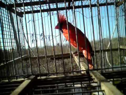 cardenal cantando en yucatan cantol-kinchil(3)