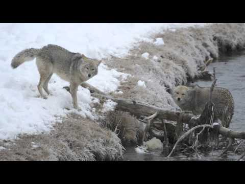 Coyotes Fighting in Yellowstone