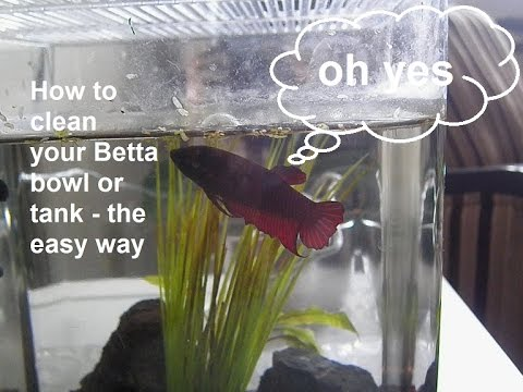 How To Clean Your Betta Fish Bowl Or Tank - The Easy Way