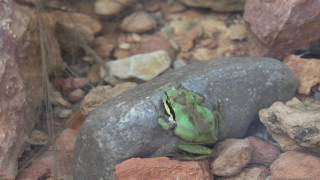 Pacific Tree Frog in 4K ~ Red Rock Canyon Las Vegas