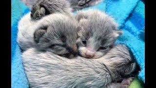 Кошка родила серых котят, но их настоящий цвет проявился только спустя время