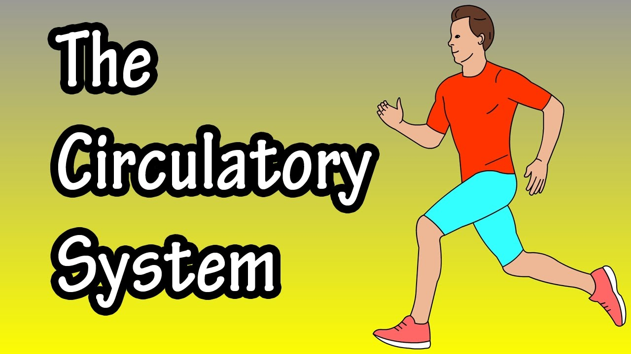 how the circulatory system works
