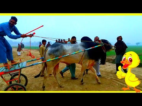 THE BULL RACE EXCLUSIVE Apna Punjab
