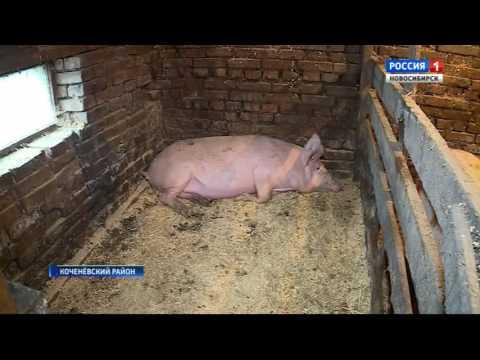 Африканская чума свиней подступает к Новосибирской области