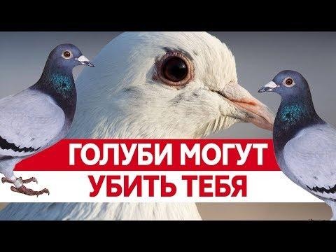 Вопрос: Зачем голуби урчат?