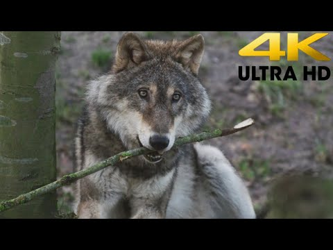 wolf-4k---timelapsed-tides--