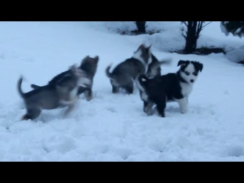 Husky Puppies Playing In the Snow: 9 Weeks Old (2017)
