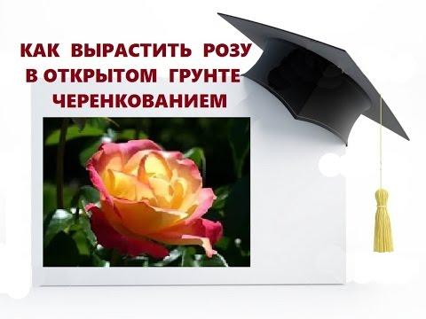 Роза Пьер де Ронсар: описание любимой плетистой розы