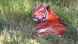 Tiger Facts - Facts About Tigers