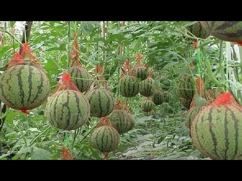 WOW! Amazing Agriculture Technology - Watermelon