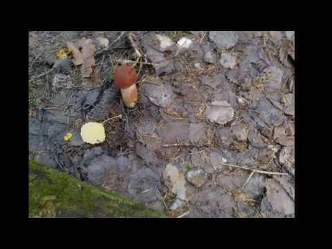 Съедобные грибы. Подосиновик. Фото грибов